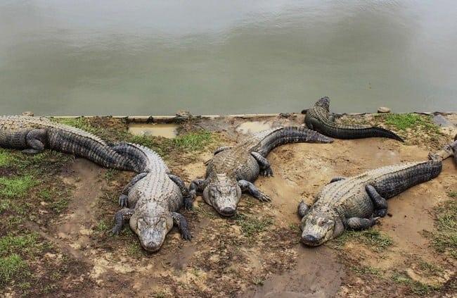 alligatorfarmsummerdaleal