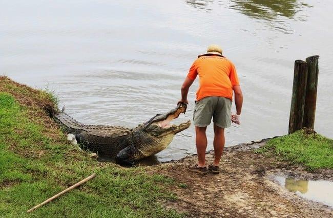 alligatorfeeding