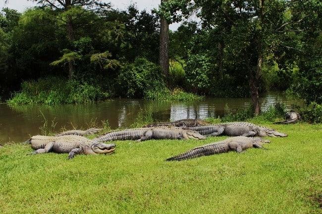alligatorsinsummerdaleal