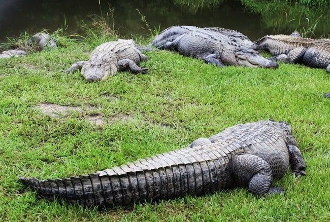 alligatorssummerdaleal
