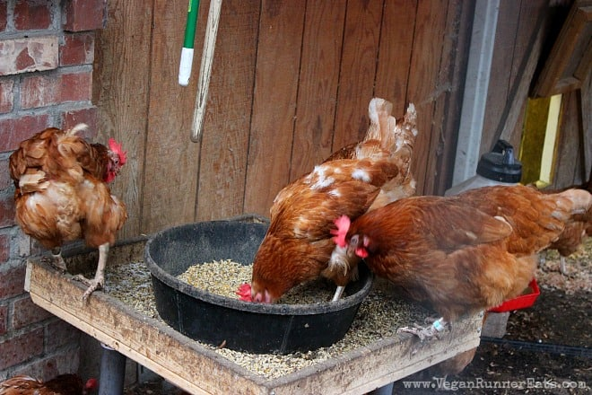 Chickens at Pasado's Safe Haven