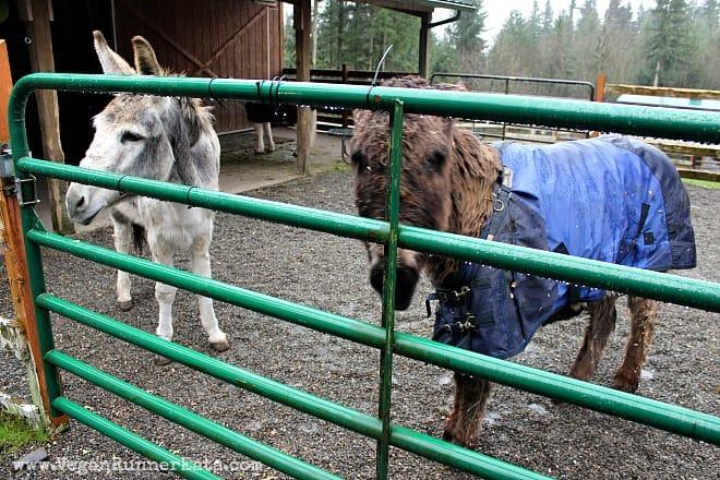 Donkeys at Pasado's Safe Haven