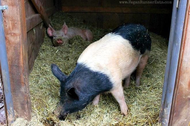 Pigs at Pasado Safe Haven