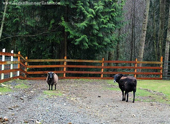 Sheep at Pasado's Safe Haven