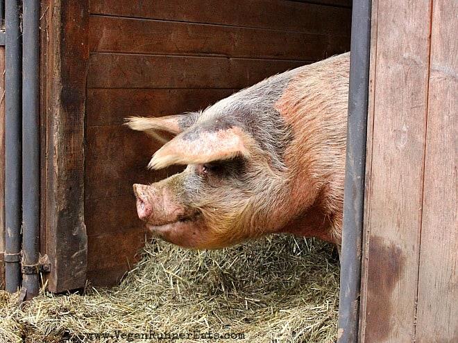 Splash the Pig at Pasado's Safe Haven