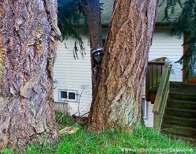 Raccoon on Whidbey Island