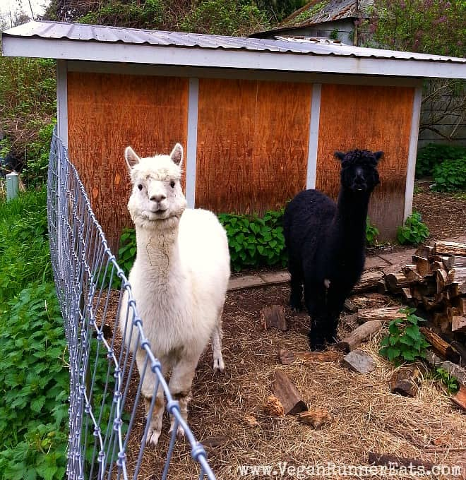 Alpacas on Whidbey Island
