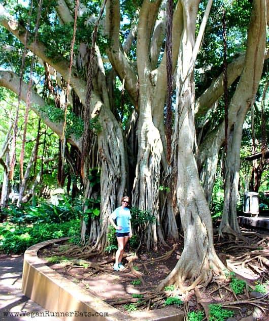 Banyan tree in heritage Park on Maui Hawaii