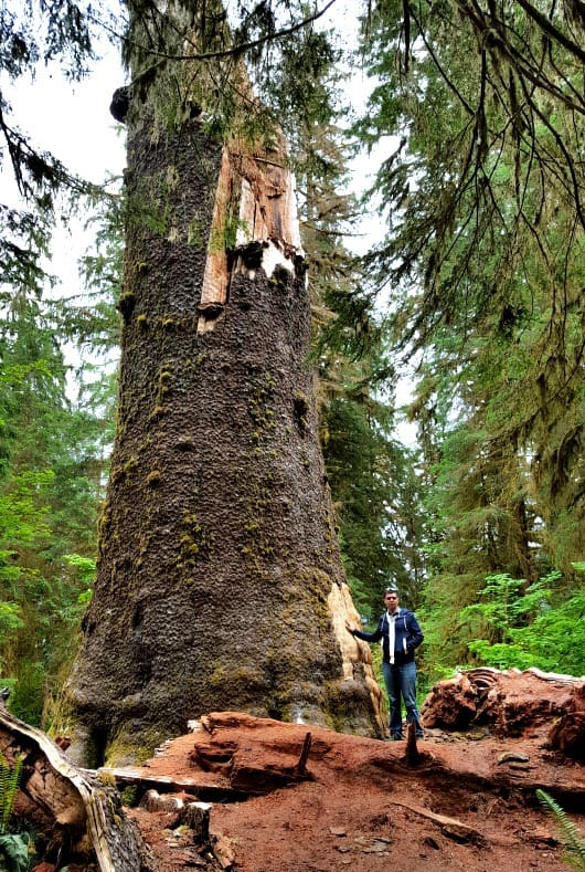 Giant broken Sitka Spruce tree in the Hoh Rainforest